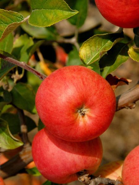 Der Apfel Berlepsch