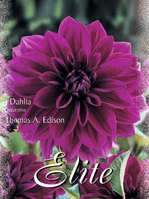 Schmuck-Dahlie 'Thomas A. Edison', Dahlia (Art.Nr. 520200)