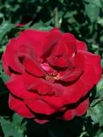 Rose Duftzauber 84 ® - Kordes