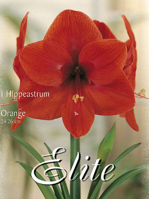 Amaryllis orange, Hippeastrum (Art.Nr. 596360)