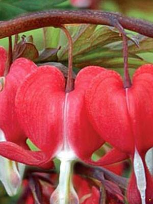 Dicentra spectabilis 'Valentine', orange-rotes Tränendes Herz
