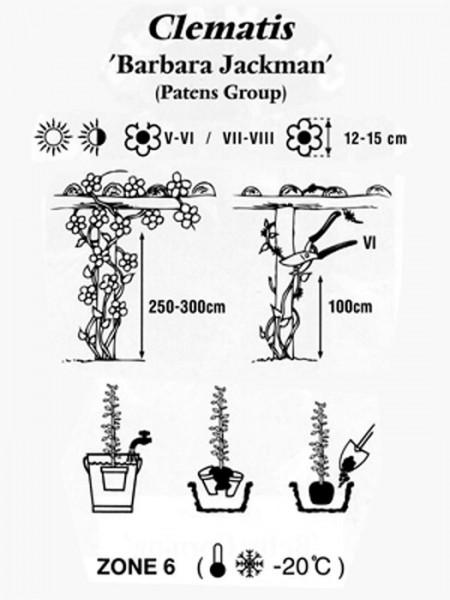 Pflanzanleitung für die Clematis