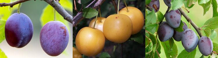 zwetschen-pflaumen-mirabell