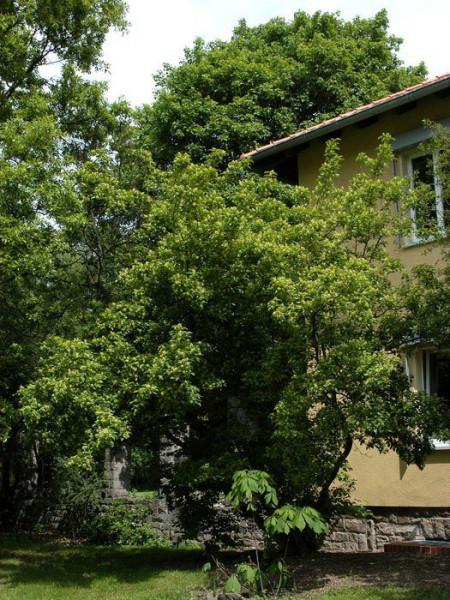 Feuerhorn mit grünem Laub im Sommer