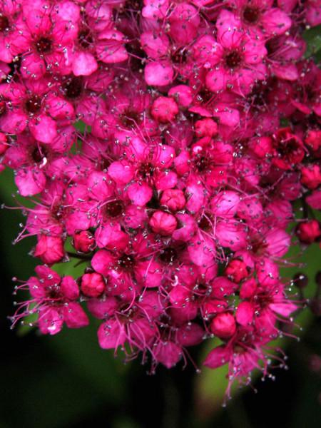 Blüte Rosenspiere Anthony Waterer