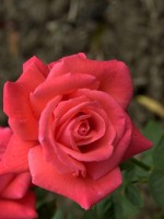 Rose Super Star ® - Tantau