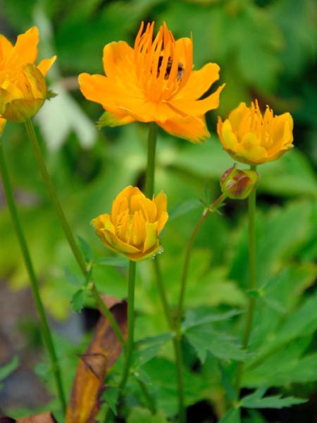 Trollius chinensis 'Golden Queen', Chinesische Trollblume