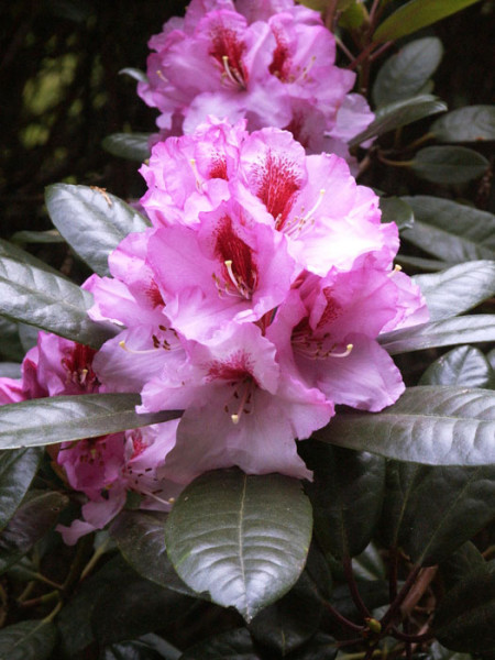 Rhododendron 'Diadem'