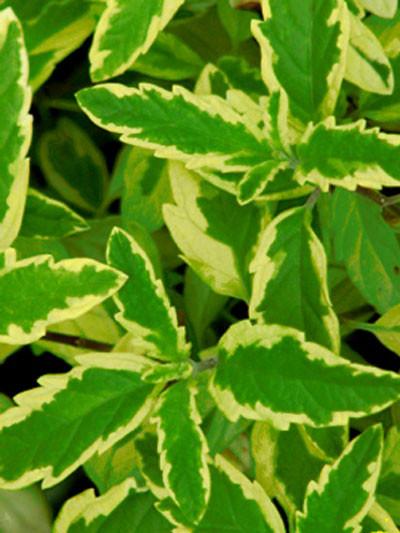 Zweifarbige Blätter der Bartblume