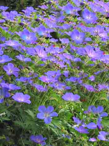 Blütenfülle des Wiesenstorchschnabels 'Johnson's Blue'