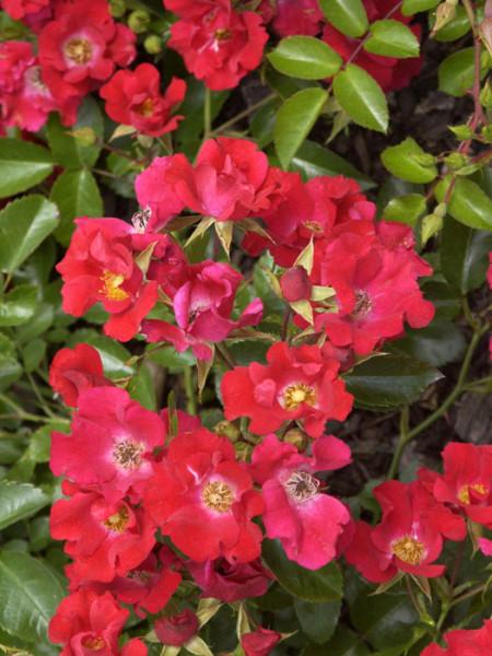 Blüte der Rose Sommerabend