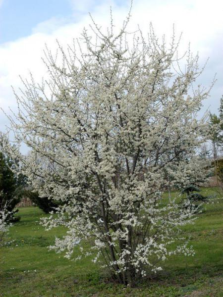 Prunus spinosa, Schwarzdorn, Schlehe