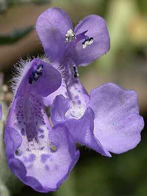 Dunkelblaue Blüte Katzenminze