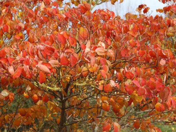 rot-orange Herbstfärbung des Japanischen Blumenhartriegels 'China Girl'