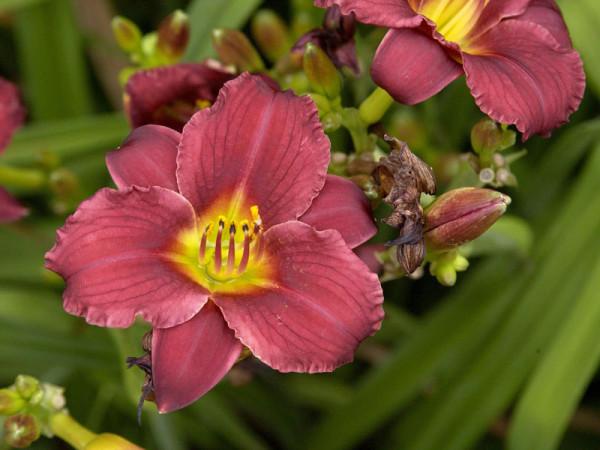 Hemerocallis Hybride 'Pardon Me', Taglilie