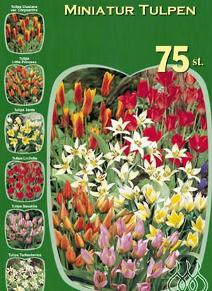 Miniatur-Tulpen Sortiment (Art.Nr. 598224)