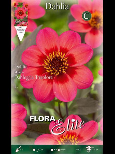 Mignon-Dahlie 'Dahlegria Tricolore', Dahlia (Art.Nr. 520556)