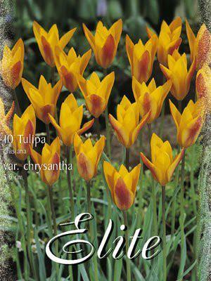 Botanische Tulpe 'Chrysantha' (Art.Nr. 595654)