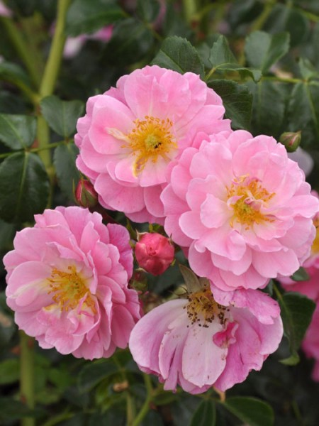 Blühende Rose Magic Meidiliand
