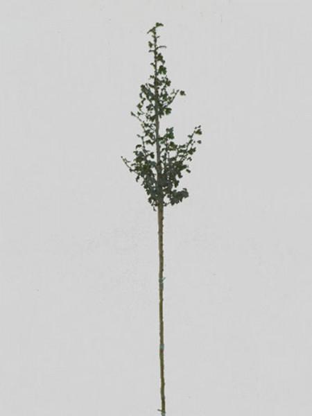 Crataegus laevigata Paul's Scarlet, Rotdorn - XXL-Produkt