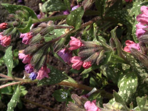 Pulmonaria saccharata 'Pink Dawn', Geflecktes Lungenkraut