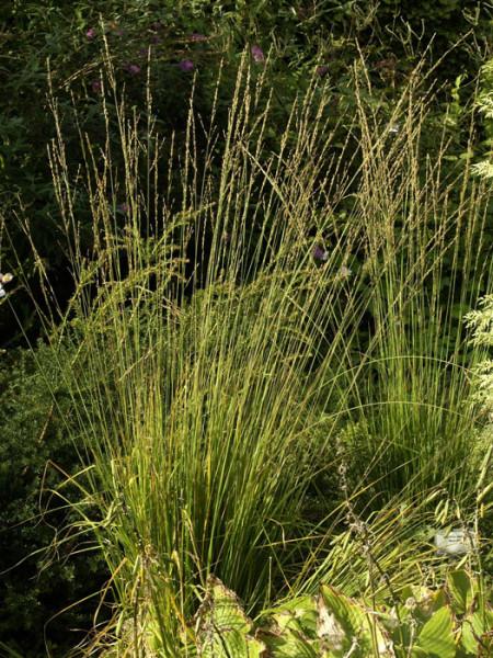 Molinia caerulea 'Moorhexe', Moor-Pfeifengras, Kleines Pfeifengras