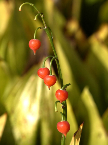 Frucht des Maiglöckchens