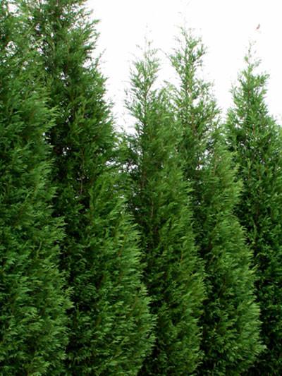 Die Leylandzypresse als Heckenpflanze