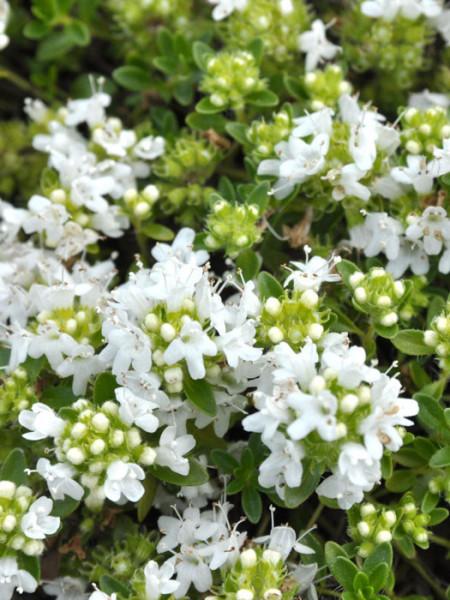 Thymus serpyllum 'Albus' (M), Weißer Sandthymian, Teppich-Thymian