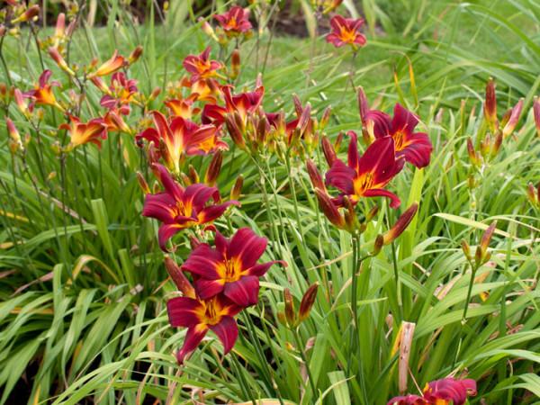 Hemerocallis x cultorum 'Chicago Apache', Garten-Taglilie