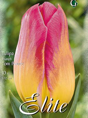 Triumph-Tulpe 'Tom Pouce' (Art.Nr. 595265)