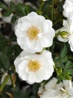 Rose Innocencia ® - Kordes
