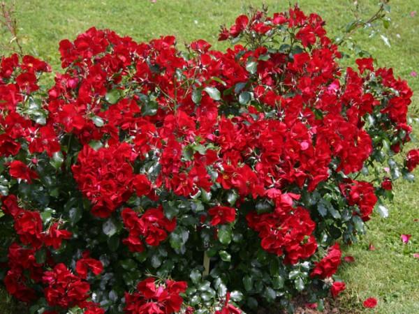 Busch der Rose Apache
