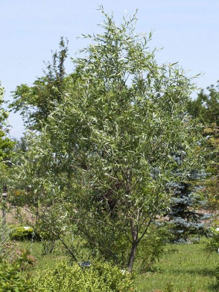 Salix purpurea, Purpurweide