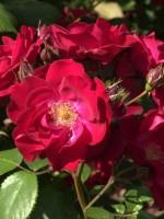 Rose Dirigent ® - Tantau