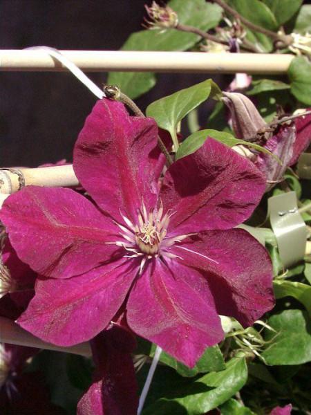 Blüte der Clematis 'Rouge Cardinal'