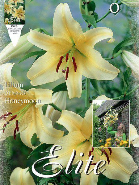Baumlilien 'Honeymoon', Lilium (Art.Nr. 521713)