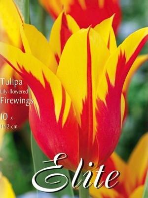 Lilienblütige Tulpe 'Firewings' (Art.Nr. 595460)