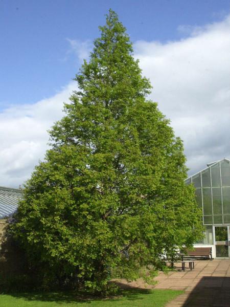 Der Urweltammmutbaum