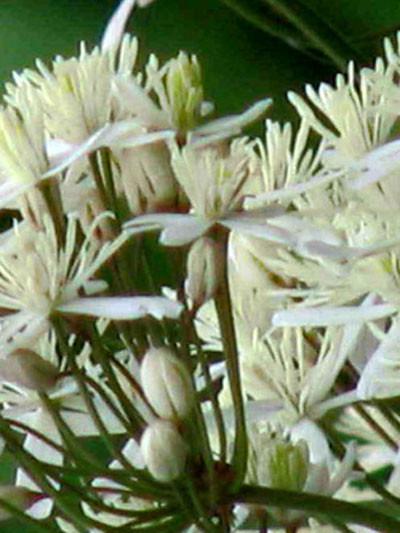 Clematis recta 'Purpurea' (M), Aufrechte Waldrebe