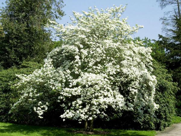 Überreiche Blütenpracht am Blumenhartriegel florida