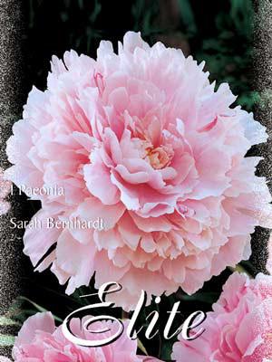 Pfingstrose 'Sarah Bernhardt', Paeonia (Art.Nr. 521908)