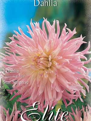 Kaktus-Dahlie 'Star Surprise', Dahlia (Art.Nr. 520344)