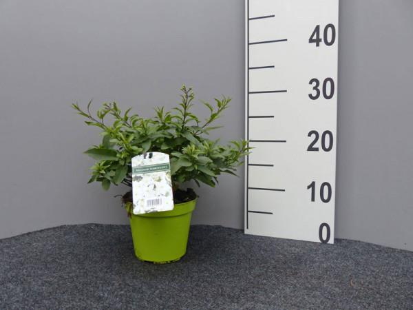 Solanum jasminoides, Sommerjasmin
