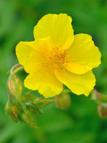 Die Blüte des Garten-Sonnenröschens 'Golden Queen'