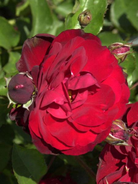 Blüte der Rose Lilli Marlen