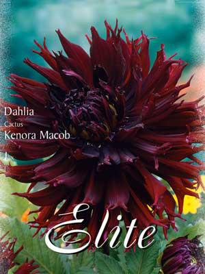 Kaktus-Dahlie 'Kenora Macob', Dahlia (Art.Nr. 520330)