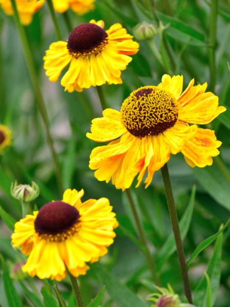 Helenium x cultorum 'Wyndley', Garten-Sonnenbraut