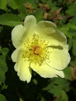 Rose Hugonis (Rosa hugonis)  - Wildrose aus China