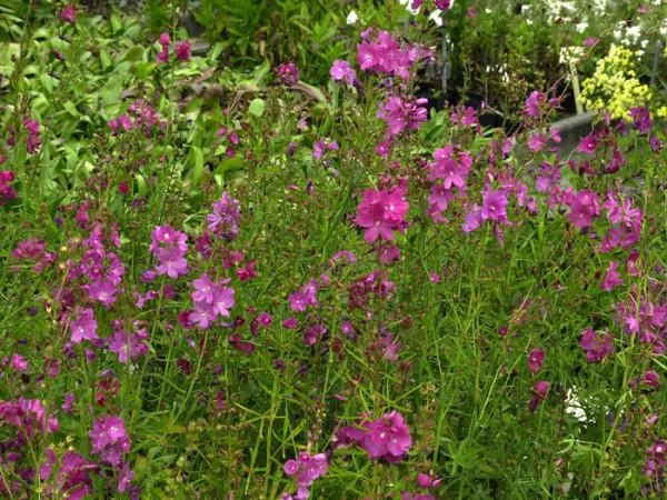 Sidalcea oregana 'Stark's Hybrid', Präriemalve, Garten-Schmuckmalve